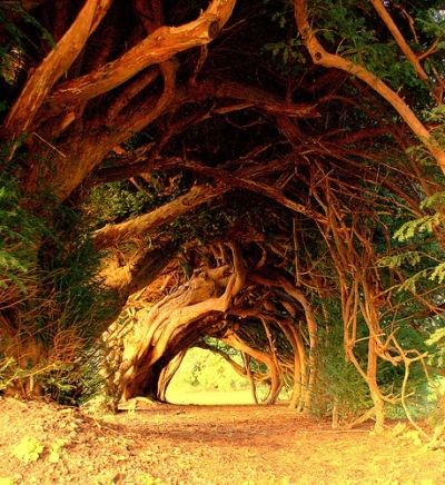 1000 Year Old Yew Tree, England