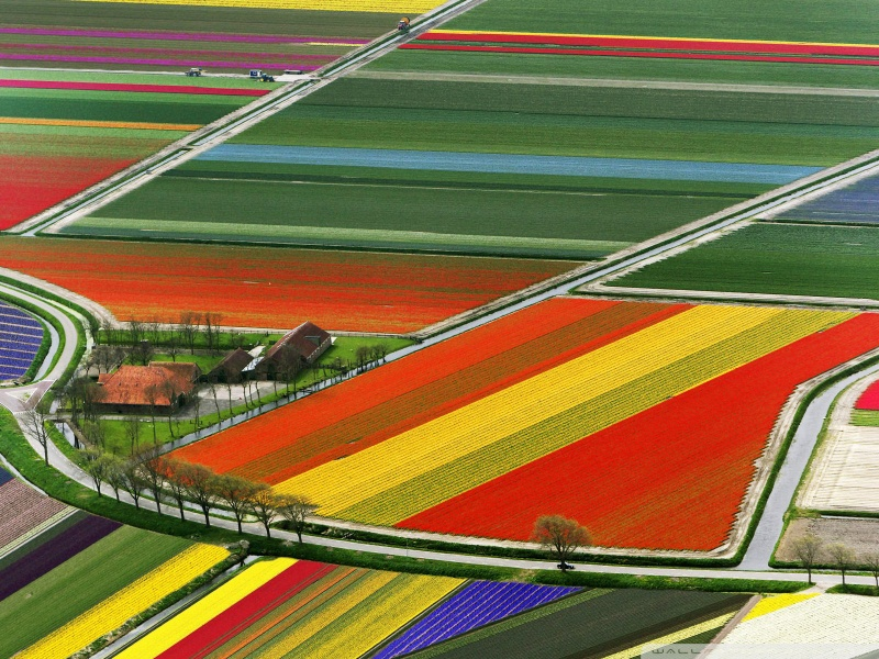 Aerial view of tulip flower fields in Amsterdam, Holland