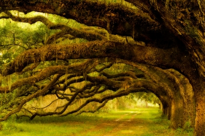 Coastal Live Oak Trees, South Carolina