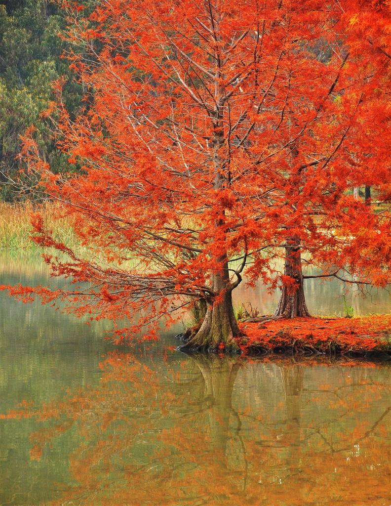 Lake Ginninderra Swamp Cypress, Canberra, Australia