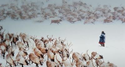 Reindeer and Chukchi reindeer herder, Siberia, Russia