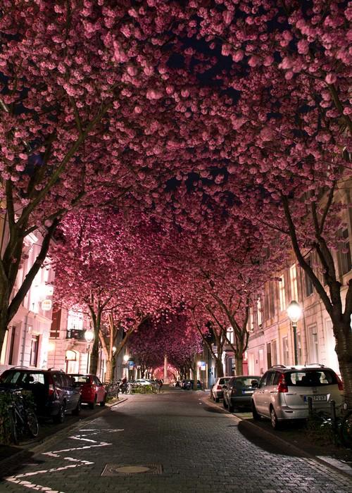 CherryBrickRoad:波恩的樱花之路 - 路人@行者 - 路人@行者
