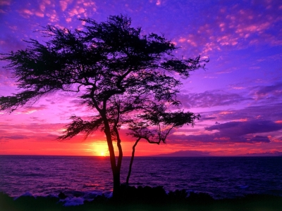 Kiawe Tree, Wailea, Maui, Hawaii