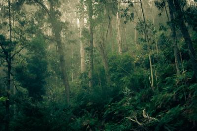 Eucalyptus Forest, Madeira, Portugal