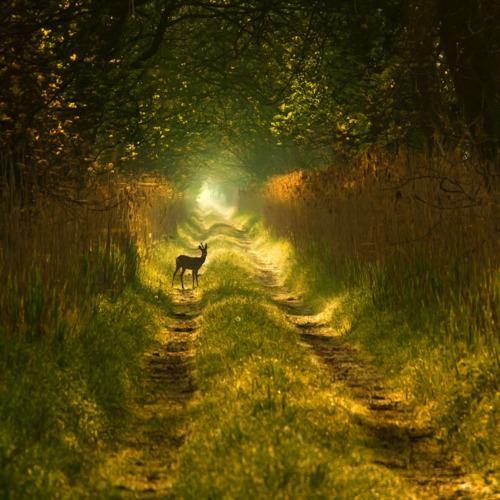 Forest Deer, Poland