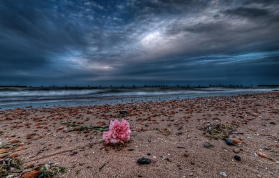 A lost rose washed up on Chicago's North Avenue Beach