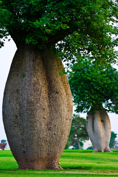 The Toborochi Tree