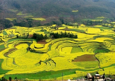 Luoping rape flower field, Luoping County, China