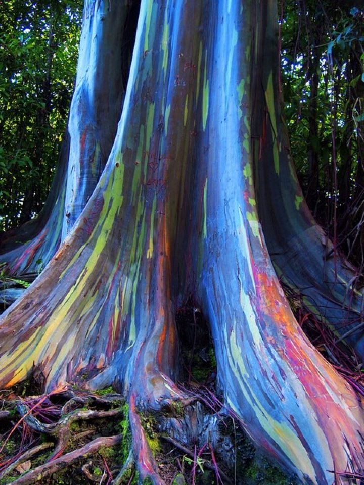 Rainbow Eucalyptus trees, Maui, Hawaii