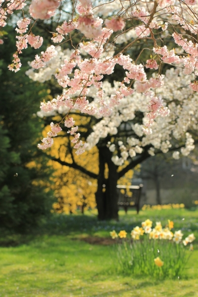 Spring Cherry Blossoms, Sakura, Japan