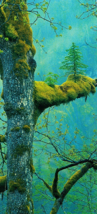 The Wonder Tree, Klamath, California