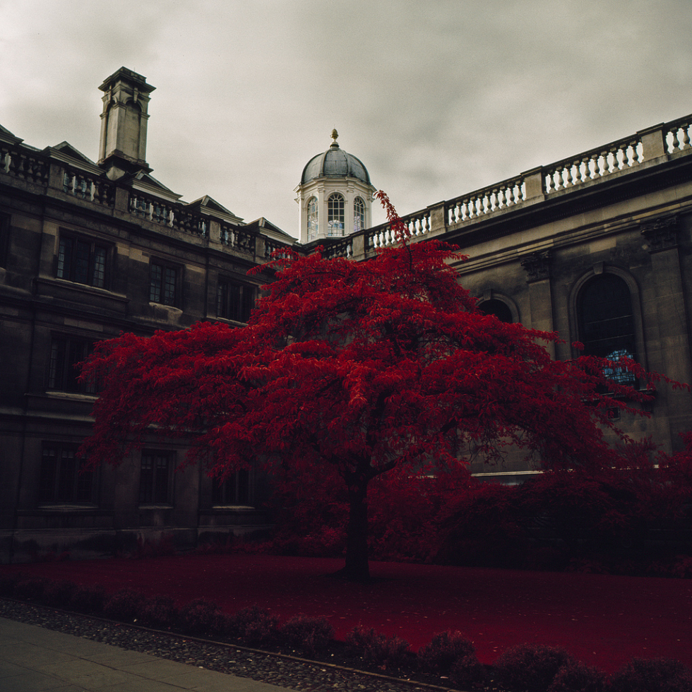 Burgundy tree, Clare College, Cambridge, England