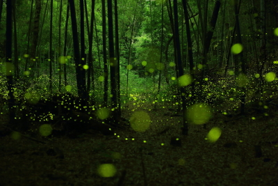 Fireflies in the Forests of Nagoya City, Japan