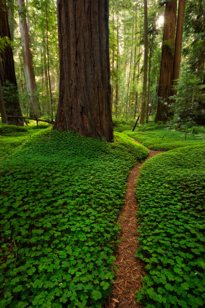 Forest Path, The Redwoods, California