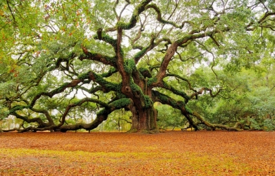 1400 year old tree in South Carolina
