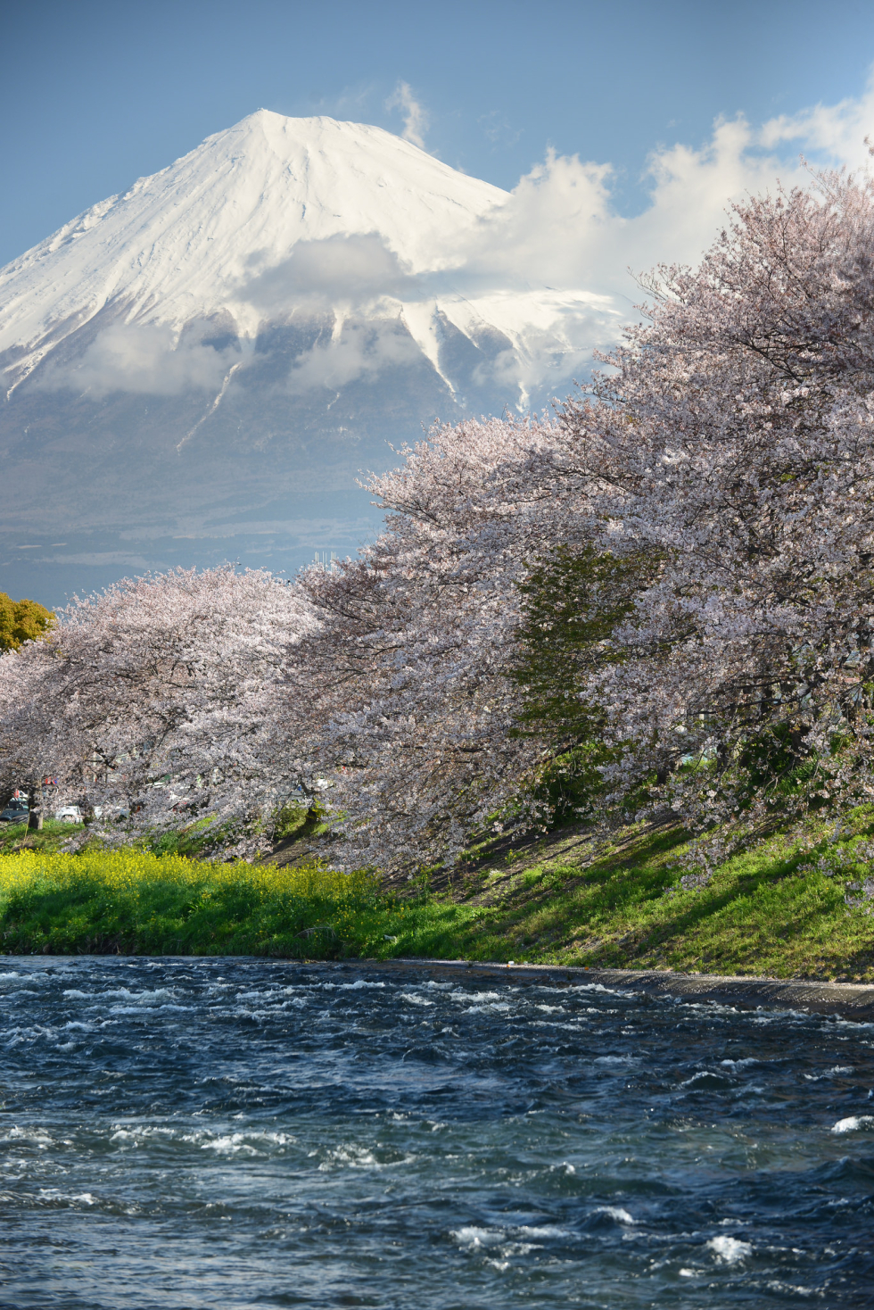 Cherry blossoms and Mount Fuji, Japan