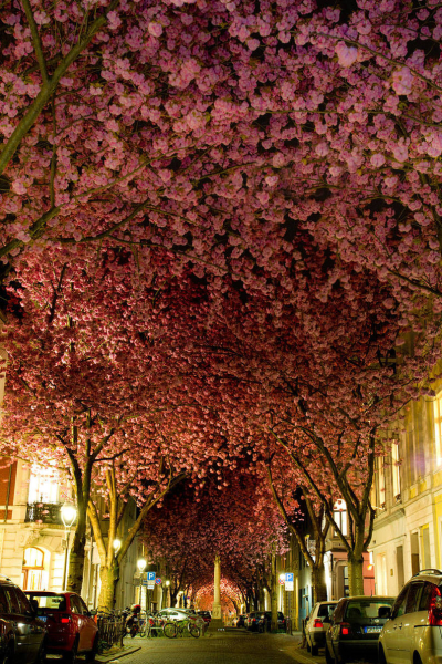 Cherry Trees, Germany