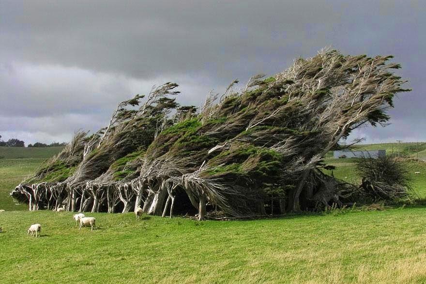 Wind swept trees, New Zealand
