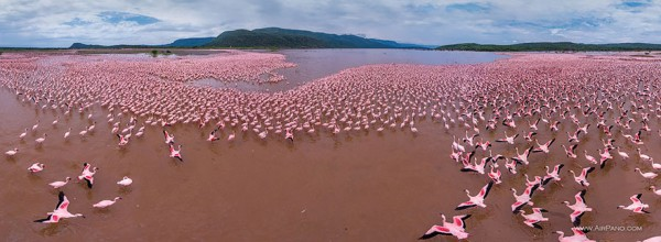Flamingo, Lake Bogoria,  Kenya 1